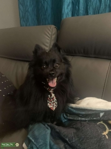 Handsome rare Throwback Pomeranian looking for a girlfriend Listing Image