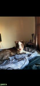 Looking for female austrailian shepherd  Listing Image