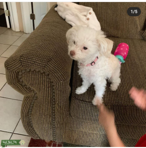 White Chipoo looking for love Listing Image