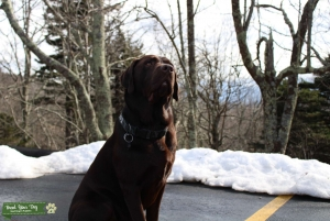 Chocolate lab looking for a female ♥️ Listing Image