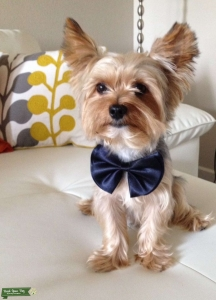 Blue/gold yorkie boy looking for a girlfriend Listing Image