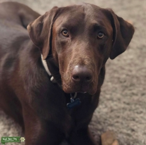 Handsome Chocolate Lab Looking for Dame Listing Image