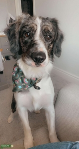 Handsome blue Merle Sprollie Ready for Stud  Listing Image