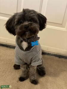 Looking for Female Toy Poodle Listing Image