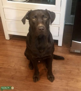Chocolate Lab Stud - 1 Year Old has Silver Gene Listing Image Thumbnail