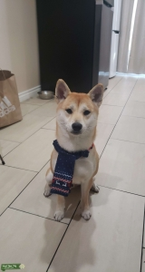 Red Shiba Inu Stud Looking For a Girfriend Listing Image