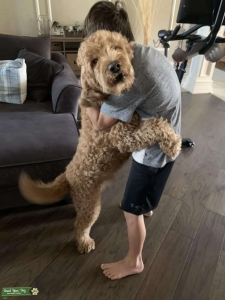 F1b Goldendoodle - Genetics, health, breed tested Listing Image Thumbnail
