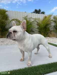 Frenchie Stud Available  Listing Image