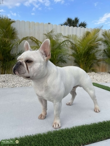 Frenchie Stud Available  Listing Image Thumbnail