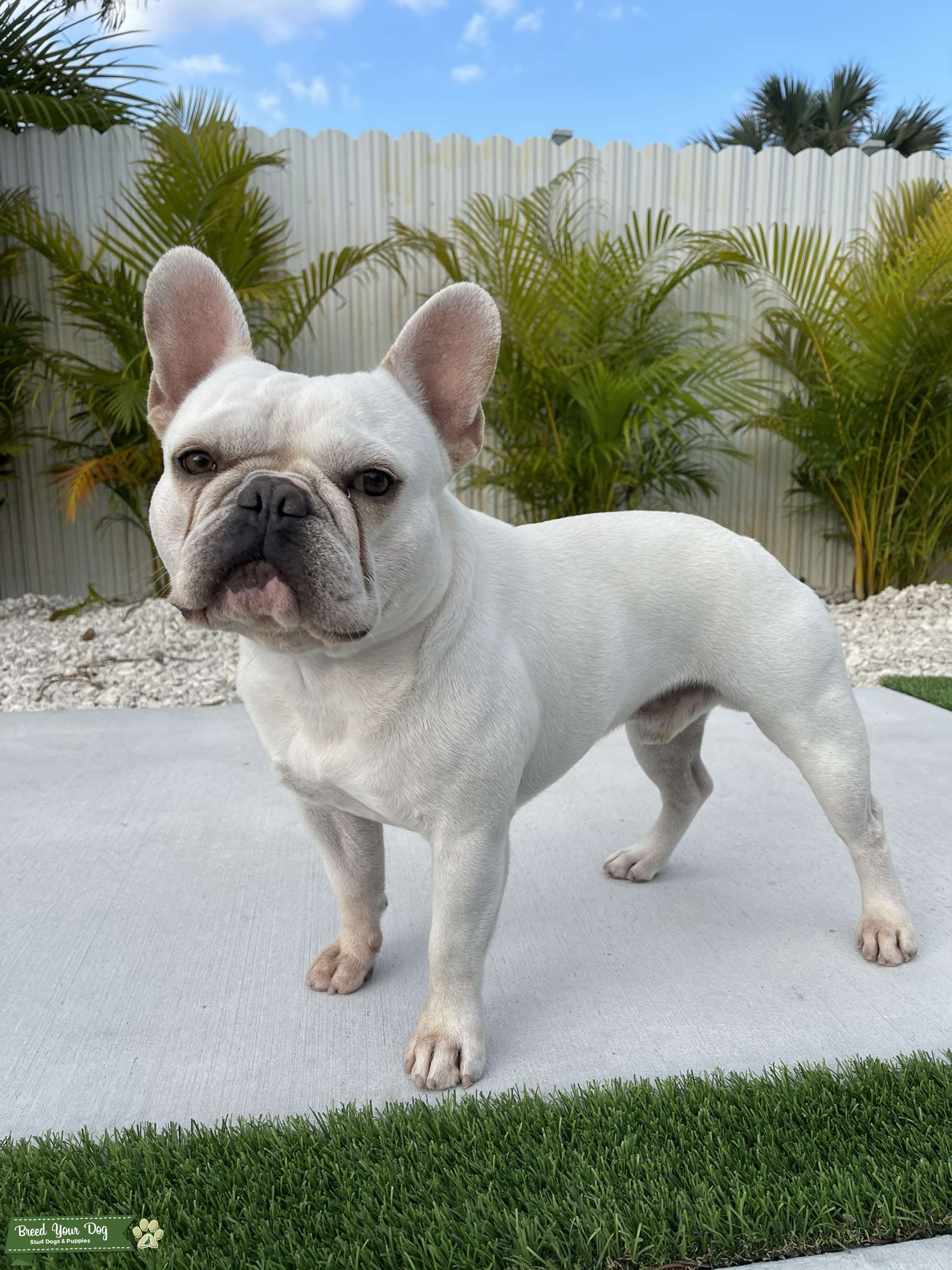 Frenchie Stud Available  Listing Image Big