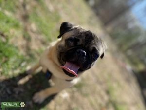 Handsome Pug looking for love Listing Image
