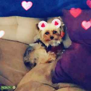 Pure Bred Toy Yorkie Stud Listing Image