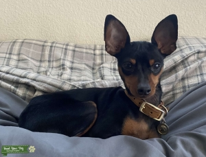 1 year old Min Pin Listing Image