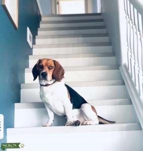 Purebred Beagle  Listing Image