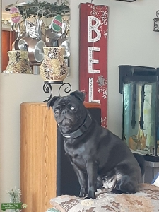 Looking to breed my Pug Listing Image