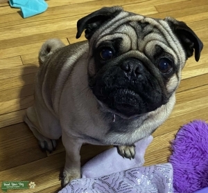 Stud Male Pug  Listing Image