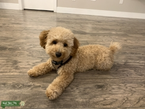 Full Bred Toy Poodle Listing Image