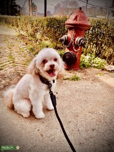 Handsome mini poodle mix ready to make a family Listing Image