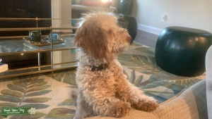 Toy Poodle  Stud Looking for Female Listing Image