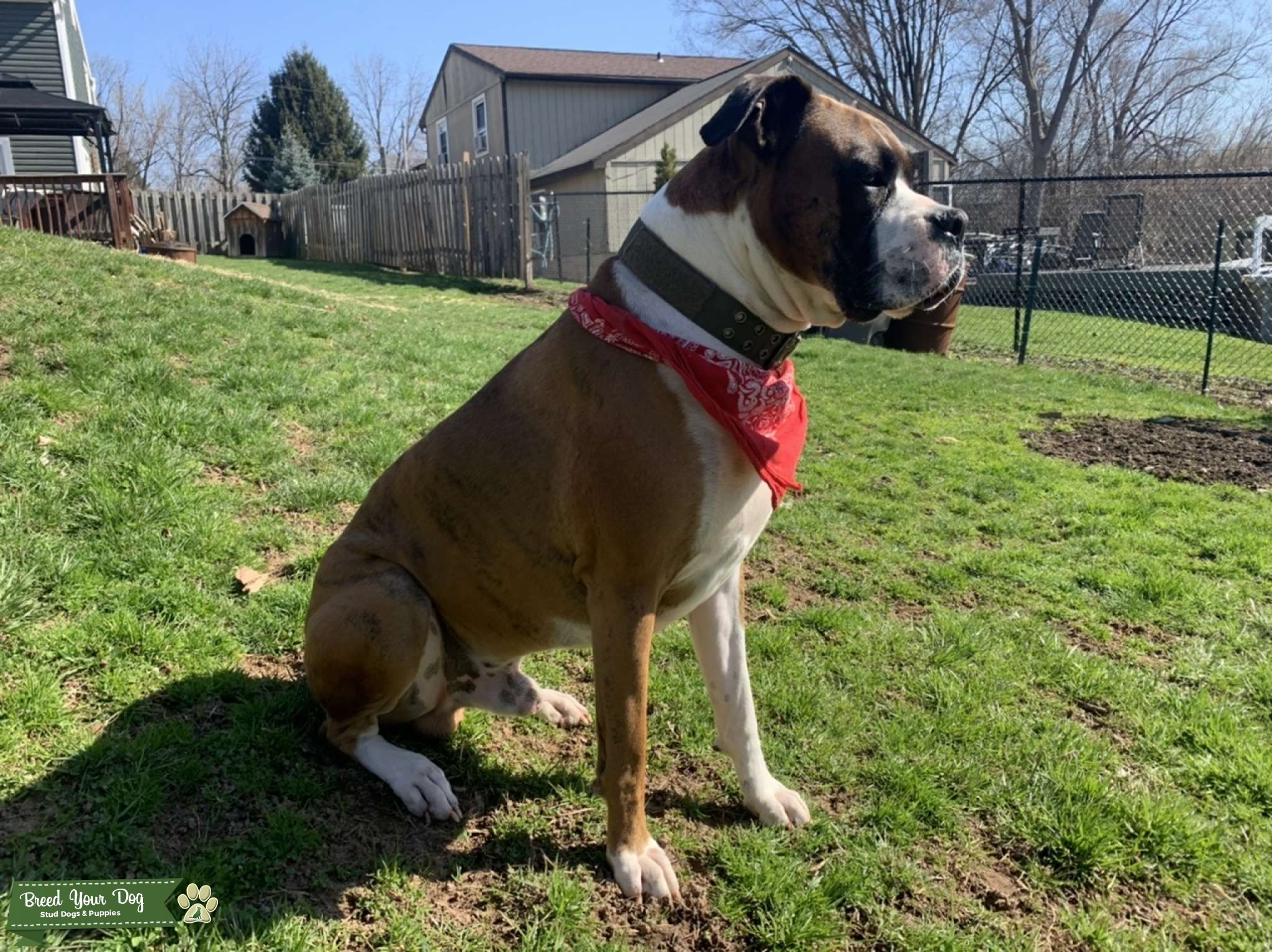 90lbs. Solid muscle boxer Listing Image Big