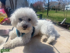 Bichon Frise Pure bred Listing Image Thumbnail