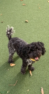 Adorable 5lbs Toy Poodle  Listing Image