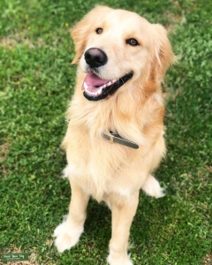Golden Retriever male for breeding Listing Image