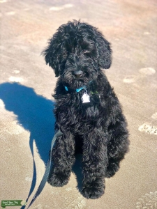 F1 Giant Schnoodle Listing Image