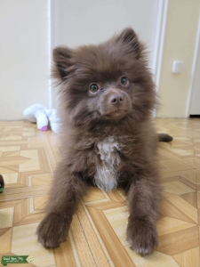 Wonderful Brown Pomeranian looking for a girlfriend  Listing Image