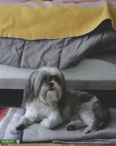 lhasa apso Stud available Listing Image