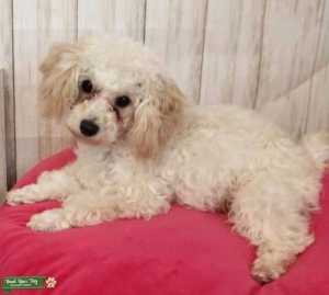 Ckc male toy poodle Listing Image