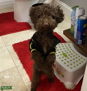 Brown Toy Poodle  Listing Image