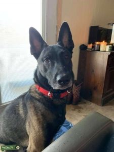 Malinois looking for GF Listing Image