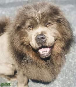 Black pure CHOW CHOW Listing Image
