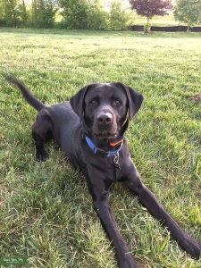 Labrador Retriever - Black  Listing Image