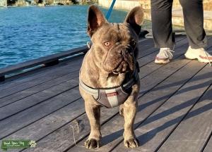 Male Blue/Platinum Lilac French Bulldog Listing Image