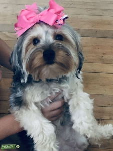 Female Yorkie looking for her 1st ever stud Listing Image