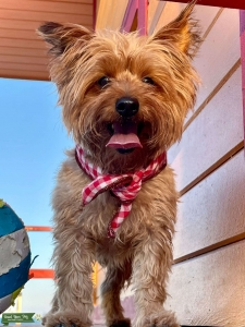 Absolutely perfect Yorkshire Terrier Listing Image Thumbnail