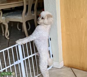 Miniature Poodle Stud Service Listing Image Thumbnail