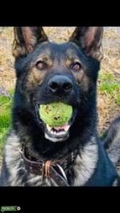 AKC Czech/DDR German Shepherd Stud  Listing Image Thumbnail