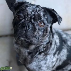 Merle male pug Listing Image