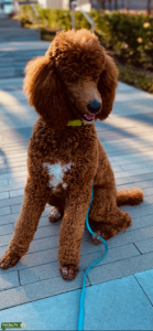 Proven AKC Red Stud Poodle Listing Image