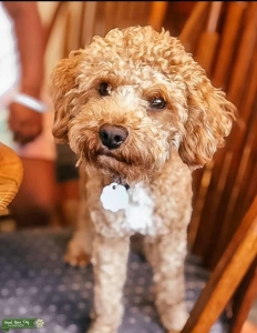 Red miniature poodle 9lbs Listing Image Thumbnail