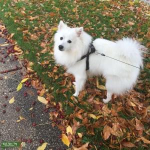 White fluffy American Eskimo doggie  Listing Image