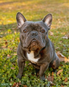Perfect Blue Frenchie Listing Image