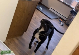 Black Boxer mixed with blue nose pitbull Listing Image