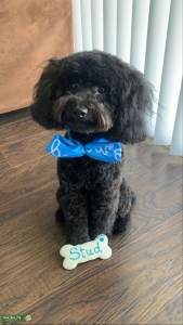 Healthy AKC Great Pedigree Black Toy Poodle Listing Image