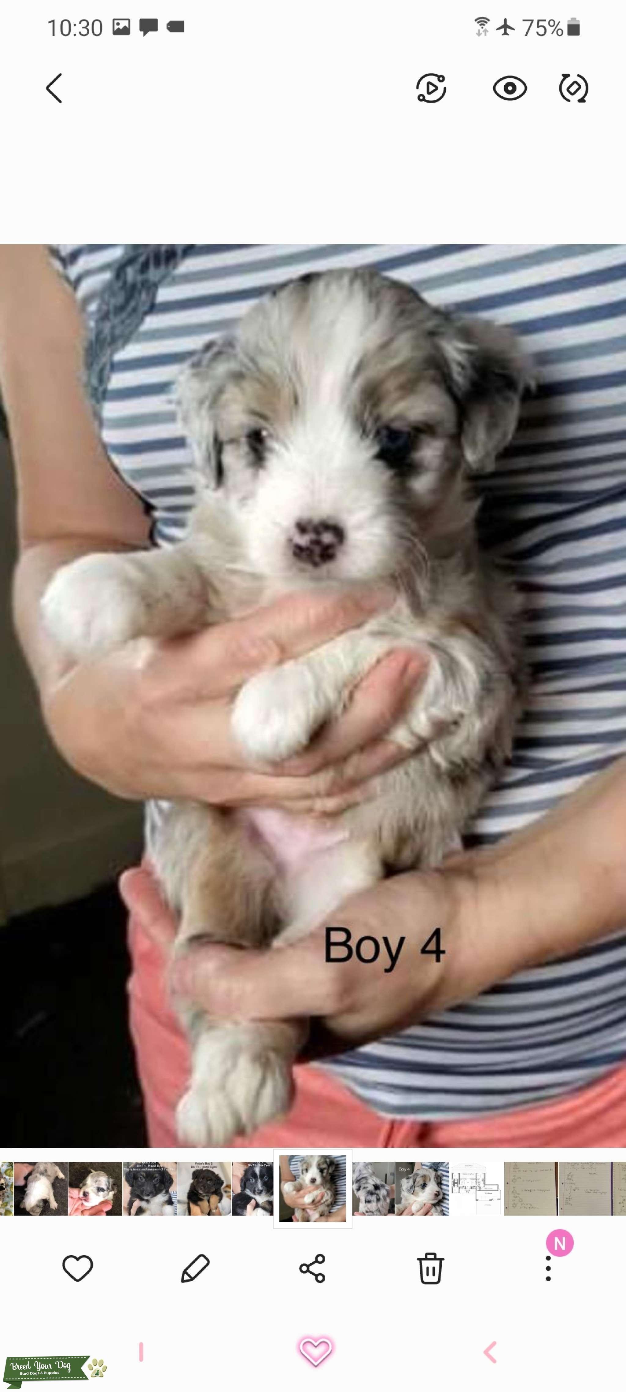 Blue Eyed Blue Merle Miniature Aussiedoodle F1 Generation  Listing Image Big