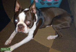 CKC registered Boston Terrier STUD ONLY  Listing Image