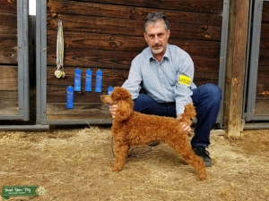 Red Miniature Poodle Proven Stud Listing Image